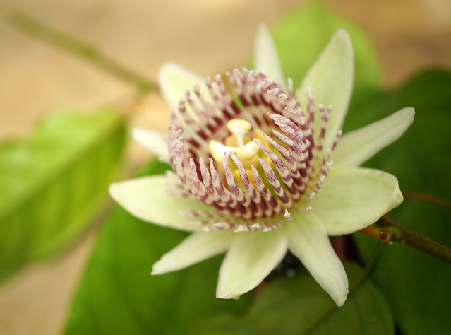 Passiflora nigradenia