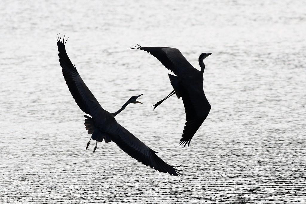 Grey Herons in Flight