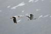 Bar-headed Goose (Anser indicus) by Sergey Pisarevskiy