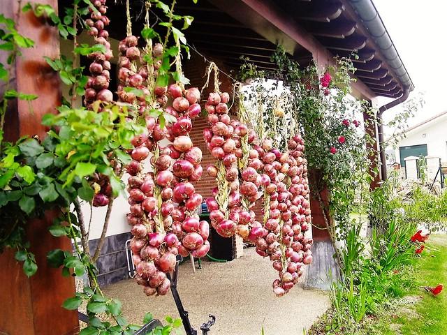 secando cebollas