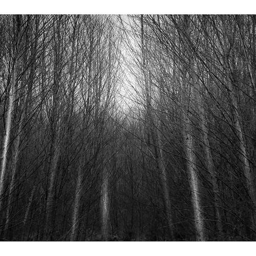 outdoors outside nature nikon landscape monotone bw blackandwhite trees jeanmarieshelton