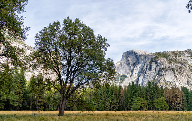 Tree and Half Dome