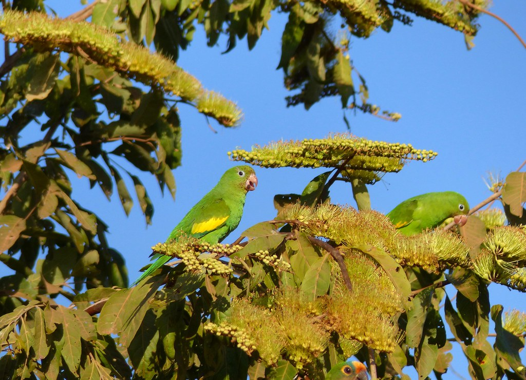 Yellow-chevroned Parakeets (Brotogeris chiriri) on Combretum flowers ...
