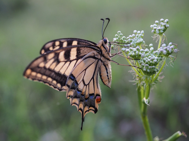 Old World swallowtail (Papilio machaon) during summer evening hours.