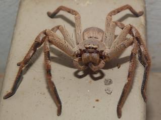 Sparassidae Huntsman spider DSCF1892 | by Bill & Mark Bell