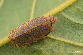 Lophopid Planthopper (Lophopidae) - DSC_3774