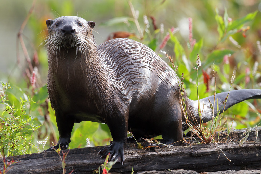 River Otter by Steve Gifford