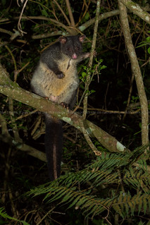 Short eared brushtail possum (Trichosurus caninus) | by Nathan Litjens