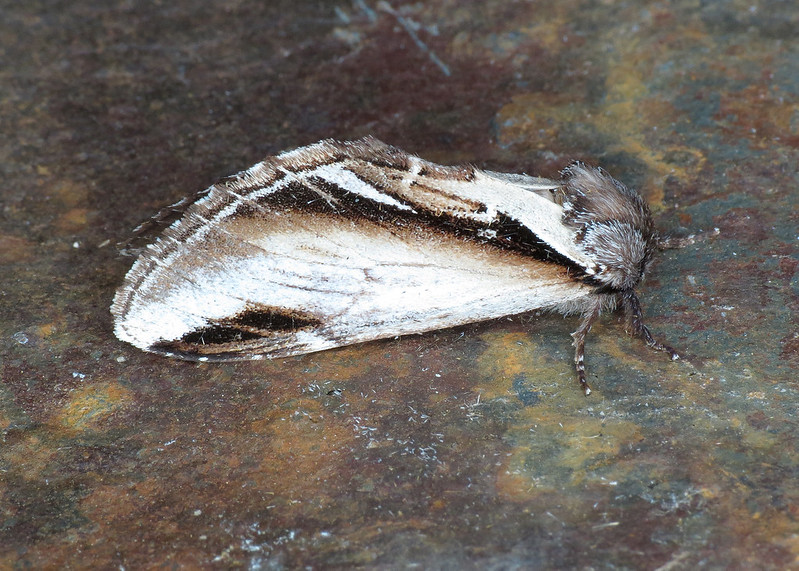2006 Lesser Swallow Prominent - Pheosia gnoma