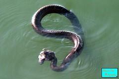 Snake in Lake Erie