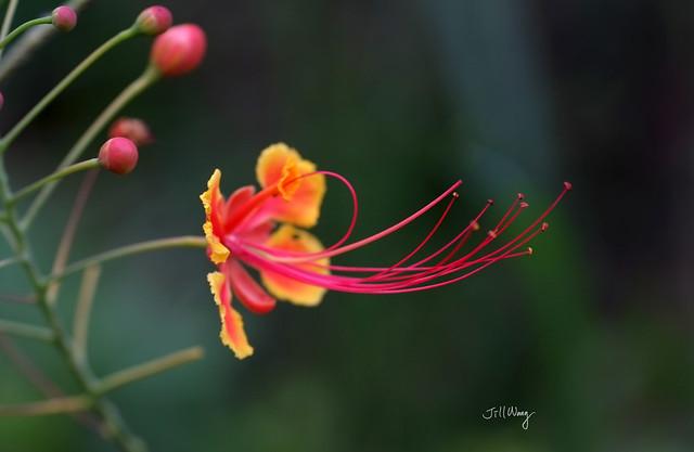 紅黃蛺蝶花