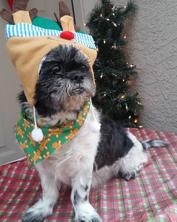 Farley #cancerfightingninja is getting ready for his first Christmas with us. #dog #shihtzu #shihtzusofinstagram #startingtolooklikechristmas #pet www.realdogsdontwhisper.com/farley-shih-tzu-looking-for-answers