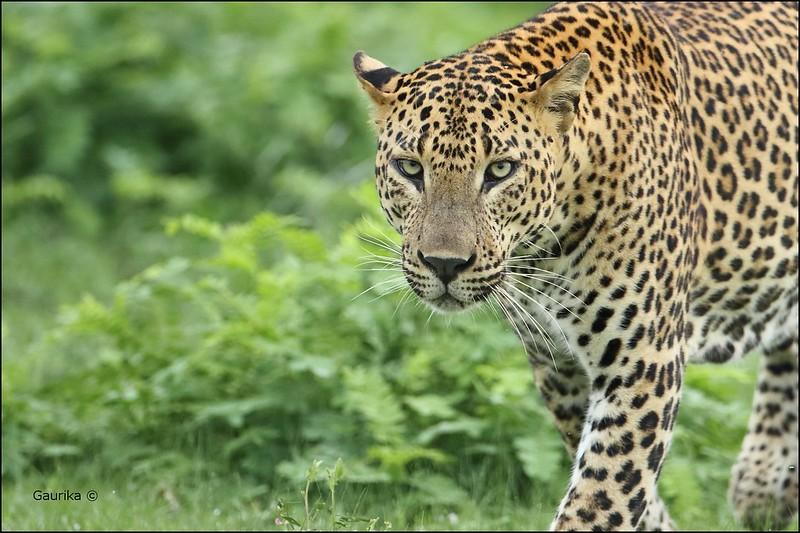 Sri Lankan leopard (Panthera pardus kotiya) @ Yala National Park