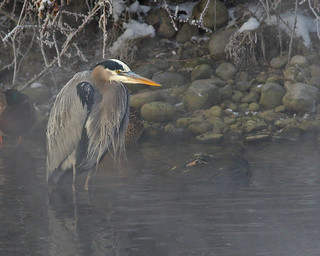 Great Blue Heron | by Keith Carlson