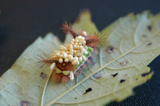 Saddleback Caterpillar | by U.S. Geological Survey