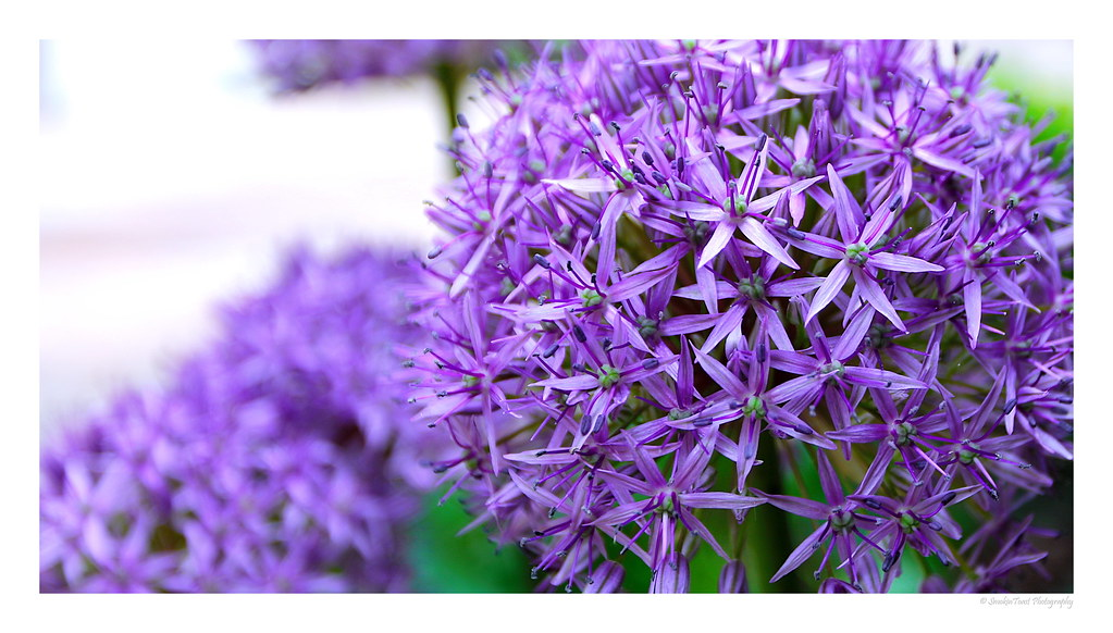 Purple Pion