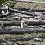 Fox near Madison