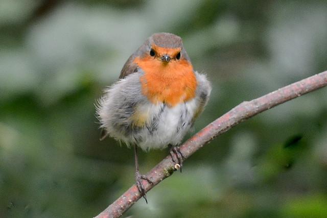 Robin Gets Itself A New Fur Coat ...