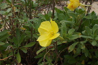 Oenothera drummondii flower1   by Macleay Grass Man