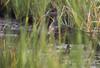 American Black Duck - Anas rubripes by Aphelocoma_