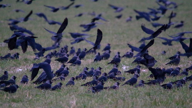 Jackdaws on a field