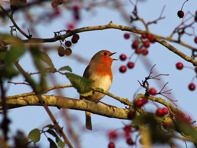 Early Morning Robin Song