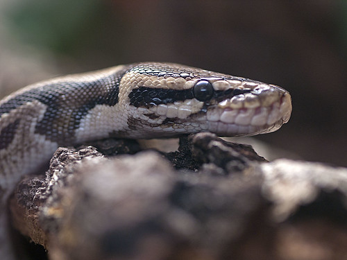 Greenville Zoo 05-24-2011 - Snake 3 | by David441491