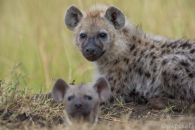 Hyena-cubs-1_3481