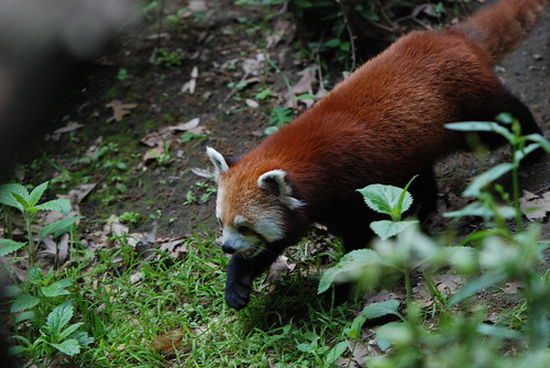 Red Pandas @ The Bronx Zoo | by tammylo