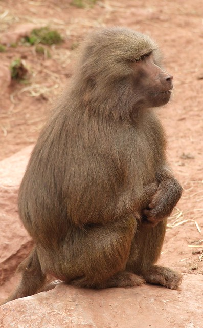 Crouching Baboon - South Lakes Wildlife Park