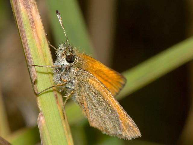 Thymelicus lineola (Essex skipper)
