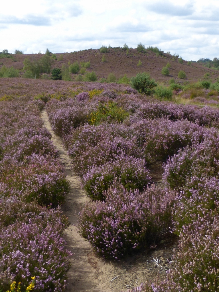 Crossing Thorsley Common Milford to Haslemere walk
