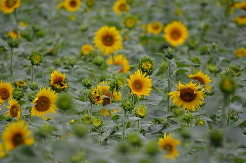 flowers summer nature landscape blossoms september sunflowers sunflower blooms gormanfarm jennypansing