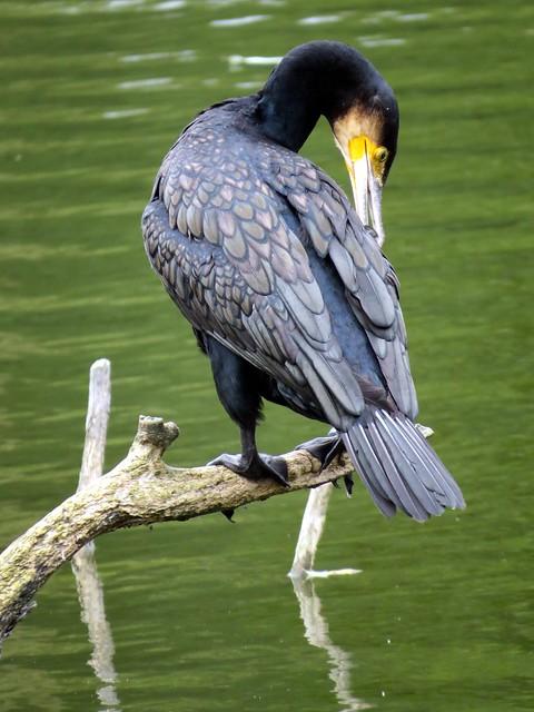 avifauna, Alphen aan den Rijn