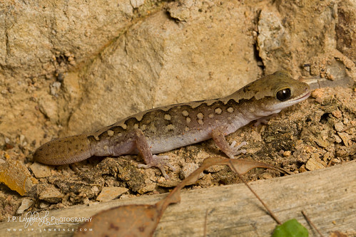 Wood Gecko | by J.P. Lawrence Photography