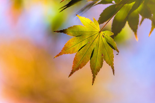 autumn green color tree nature mapleleaf momiji leaf acerpalmatum japanesemaple macro fall bokeh texture philadelphia pennsylvania unitedstates us nikon d7200 glenfoerd