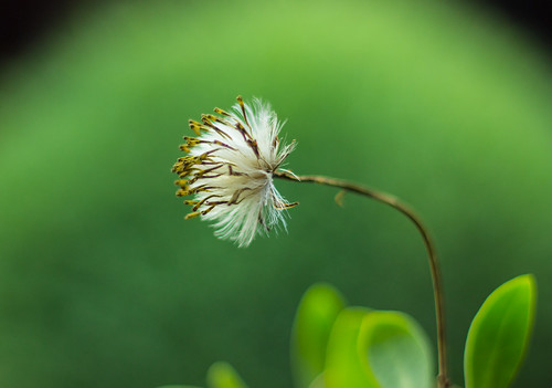 dandelion | by Paul Varuni