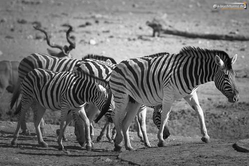 3x2 africa afrika equidae equusquagga etoshanationalpark namibia perissodactyla pferde steppenzebra säugetiere unpaarhufer vertebrata vertebrates wirbeltiere mammals monochrome kunene