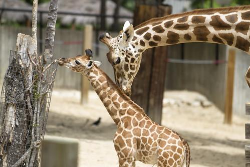 Mom kisses baby giraffe