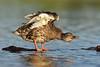 Mallard stetching wings by Nikon-gearhead