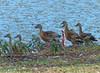 Plumed Whistling-Duck (Dendrocygna eytoni)  by Francisco Piedrahita