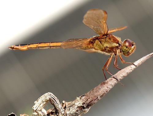 sky garden fly dragonfly alabama insects daphne odonata mobilebay anisoptera piprocta