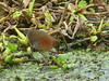 White-throated crake (Laterallus albigularis) by Sylvère Corre