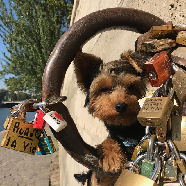 Yorkshire Terrier.. 西施犬...Small in size but big in personality,  is also called