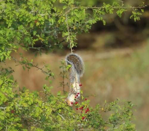 ©nickudy nickerzzzzz photograph canon 5dmkiii 100400lisusm wildlife nature greysquirrel squirrel sciuridae sciuromorpha rodents