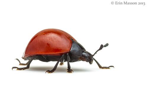Lady beetle or mimic 2