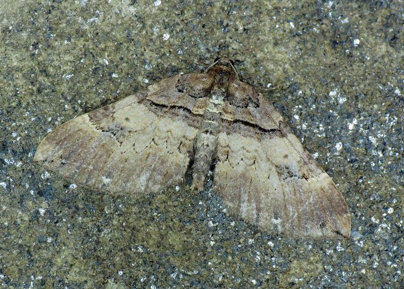 1746 Shoulder-stripe - Anticlea badiata