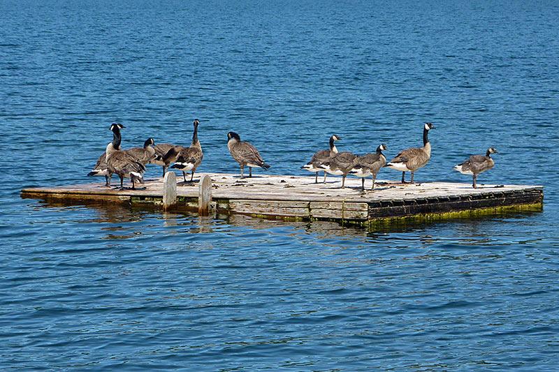 Canada Geese on St. Mary's Lake, Saltspring Island, Gulf Islands, Georgia Strait, British Columbia, Canada