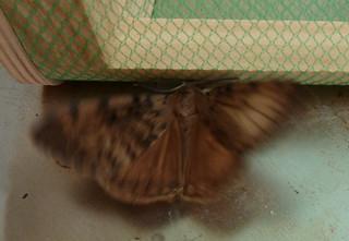 Lymantria dispar   by Nessy apprentie en rangement