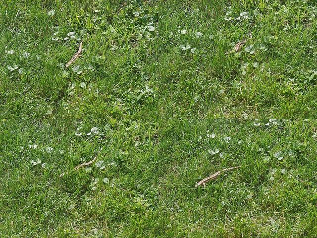 Eidechs läuft im Gras